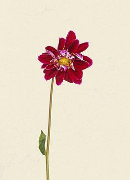 Blume#6