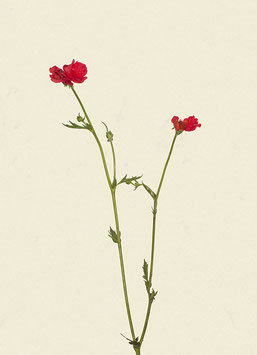 Blume#22
