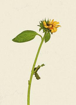 Edition III/2 (Sonnenblumen#1)