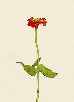 Blume#7