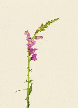 Blume#19