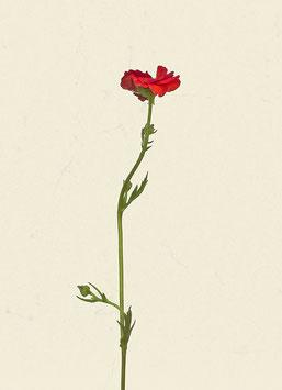 Blume#25