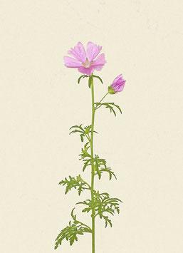 Blume#29