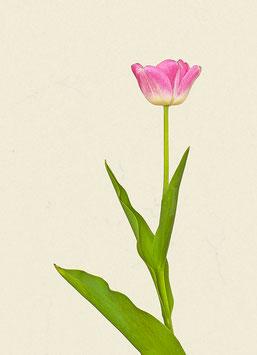 Tulpe#17