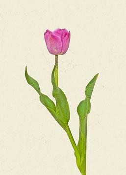 Tulpe#20