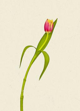 Tulpe#15