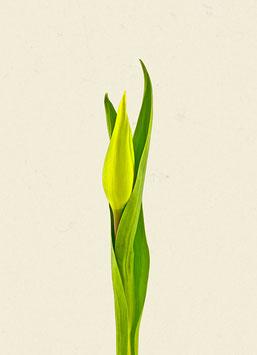 Tulpe#30