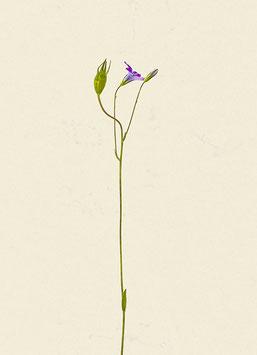 Blume#43