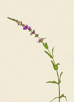 Pflanze#27