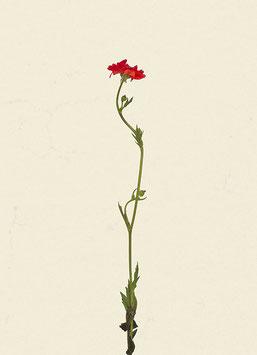 Blume#24
