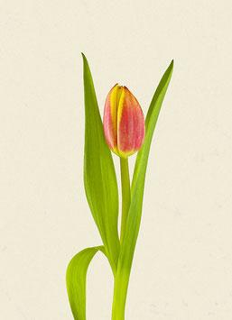 Tulpe#14