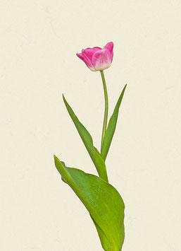 Tulpe#16