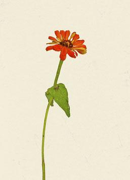 Blume#12