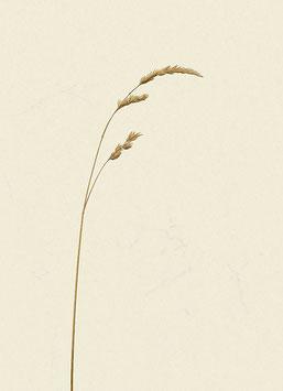 Gras#4