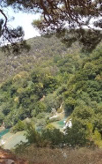 Cyperus alternifolium