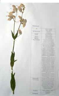 Silene cucubalus, Silene vulgaris