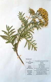Tanacetum vulgare, Chrysanthemum vulgare