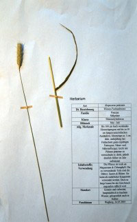 Alopercus pratensis