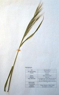 Bromus sterilis