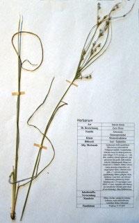 Juncus tenius