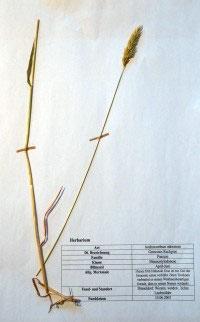 Anthoxanthum odoratum