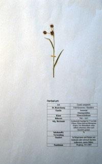 Luzula campestris