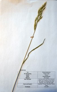 Bromus hordeaceus