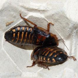 Kakkerlakken Blaptica dubia