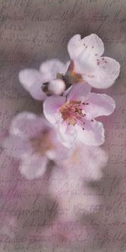 PVH_Kirschblüte