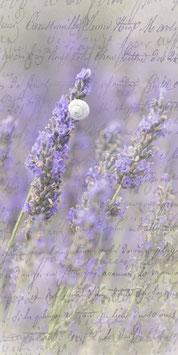PVH_Lavendel