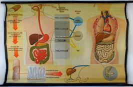 Das Verdauunssystem