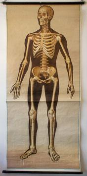 Skelett (Vorderseite)