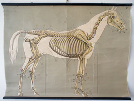 Knochenbau des Pferdes
