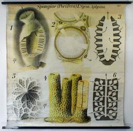 Spongiae (Porifera) [ca. 1935]