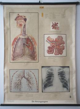 Die Atmungsorgane