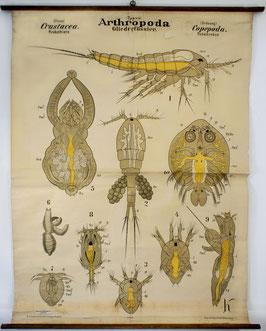 Arthropoda - Gliederfüssler