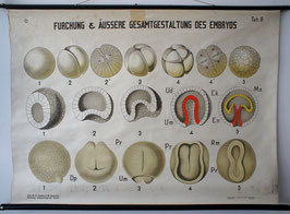 Furchung & äußere Gesamtgestaltung des Embryos