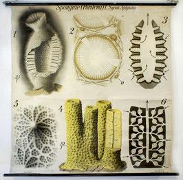 Spongiae (Porifera) [ca. 1905]