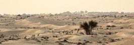 "FOTO-DRUCK auf ALU-DIBOND | Sandgazellenherde 24°07'31.7""N54°47'42.0""E"