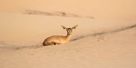 "FOTO-DRUCK auf ALU-DIBOND | Sandgazelle ruhend 24°07'31.7""N54°47'42.0""E"