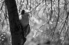 "ACRYLGLAS | Vervet Monkey One 32°15'16.8""S 22°34'26.6""E"