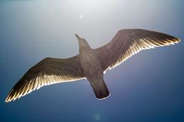 "ACRYLGLAS SLIMLINE | Larus argentatus 34°07'44.8""S 18°27'00.7""E"