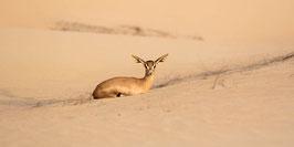 "ACRYLGLAS | Sandgazelle ruhend 24°07'31.7""N54°47'42.0""E"