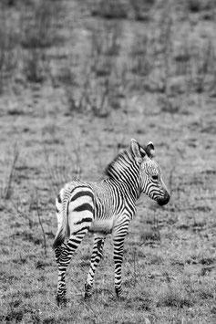 "FOTO-DRUCK auf ALU-DIBOND | Zebrafohlen 34°01'53.8""S 22°09'52.9""E"