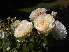 'In Memoriam', Strauchrose