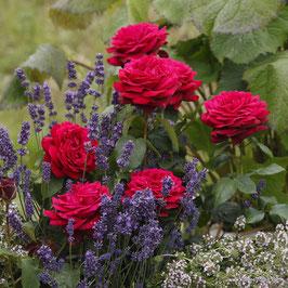 'Gräfin Diana', Parfuma, Edelrose