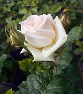 'Madame Anisette',  Parfuma, Edelrose