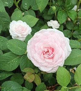 'Olivia Rose Austin', englische Rose