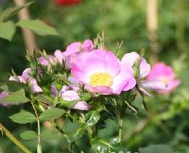 'Bourgogne',  einmalblühende Wildrosenhybride