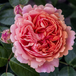 'Chippendale', Edelrose